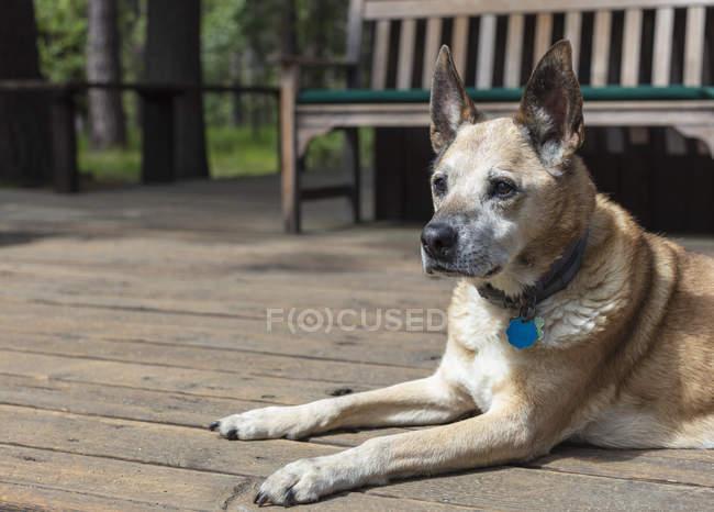 Cane da compagnia di razza mista seduto sul ponte in estate . — Foto stock
