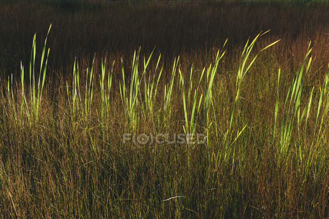 Tall wild grass growing in marsh in summer. — Stock Photo