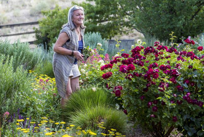 Senior mulher poda rosas no jardim . — Fotografia de Stock