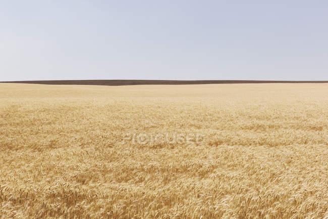 Champ de blé en été, horizon et ciel au loin, comté de Whitman, Palouse, Washington, États-Unis . — Photo de stock
