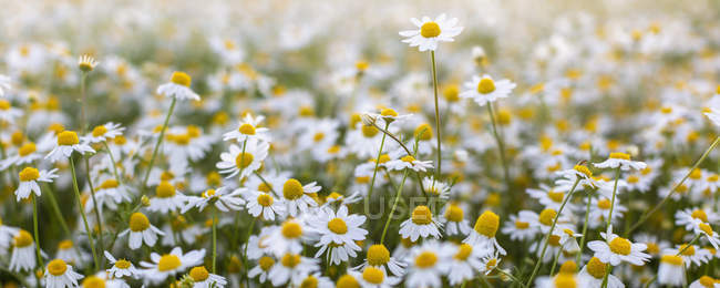 Close-up of blooming field of daisies flowers. — Stock Photo