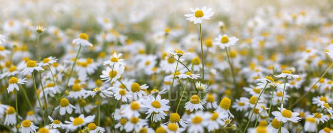Primo piano del campo fiorito di fiori di margherite . — Foto stock