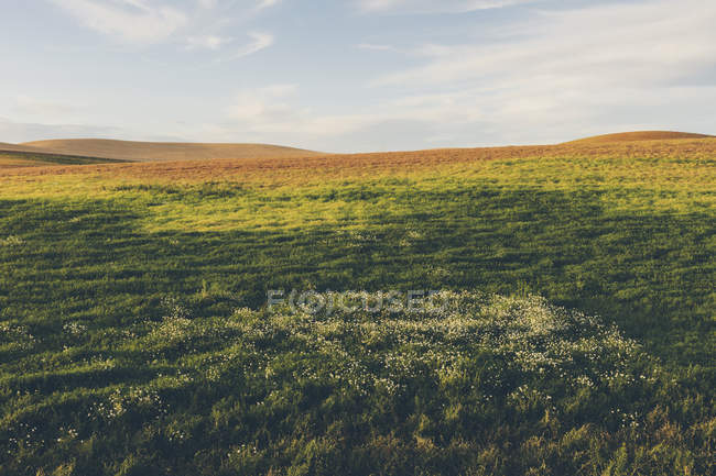 Rolling field of lentils and wheat, daisies in foreground at dusk, Whitman County, Palouse, Washington, USA. — Stock Photo