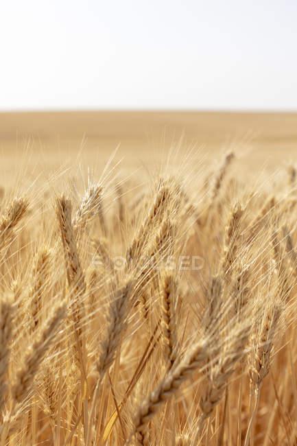 Крупный план летнего пшеничного поля, Уитман Каунти, Палуза, Вашингтон, США . — стоковое фото
