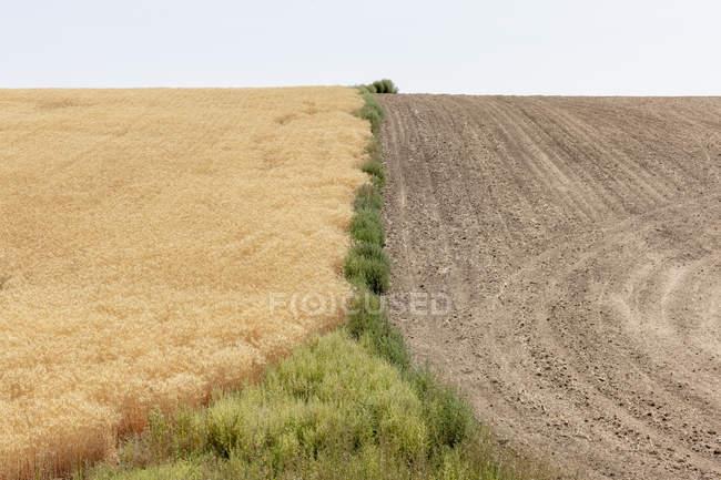 Sommerweizenfeld geteilt durch Unkraut und Ernte zur Hälfte, Whitman County, Palouse, Washington, USA. — Stockfoto