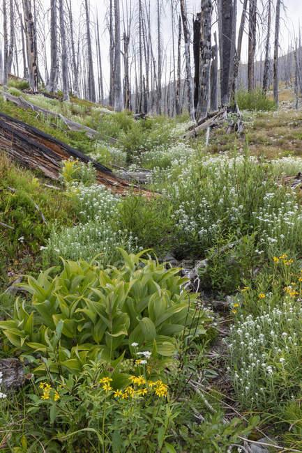 Bosque subalpino previamente quemado que rebota en verano con pinos y variedad de flores silvestres, milenrama, aster, árnica y lirios de maíz . - foto de stock