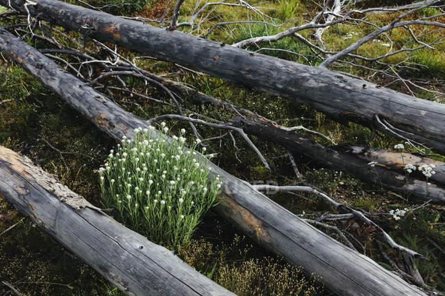 Bosque subalpino previamente quemado que rebota en verano con pinos lodgepole y variedad de flores silvestres, milenrama y woodrush . - foto de stock