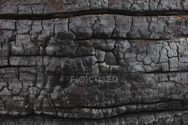 Close-up of burnt lodgepole pine tree from destructive forest fire. — Stock Photo