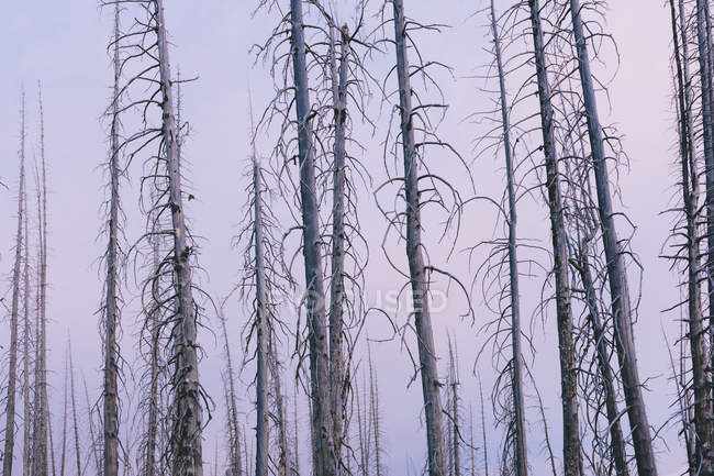 Burnt lodgepole pine forest from destructive forest fire at dusk. — Stock Photo