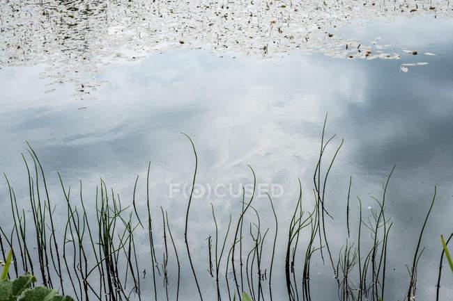 Alto ângulo close-up de grama do mar com reflexão na água . — Fotografia de Stock
