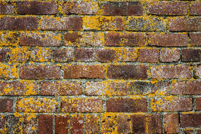 Close-up of red brick wall overgrown with yellow lichens. — Stock Photo