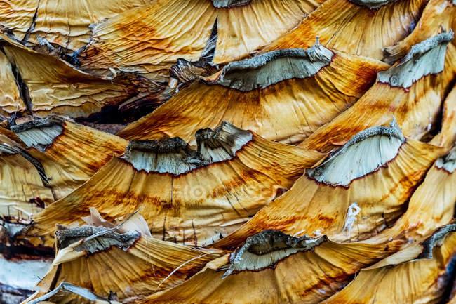 Розміщення жовтого патерну кори пальми.. — стокове фото