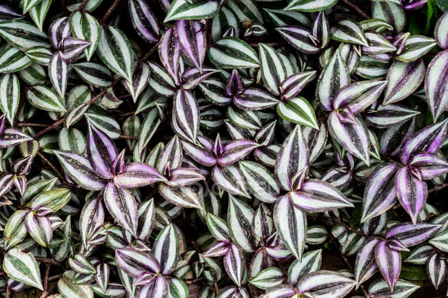 High angle close-up of lush green leaves streaked with white and purple. — Stock Photo
