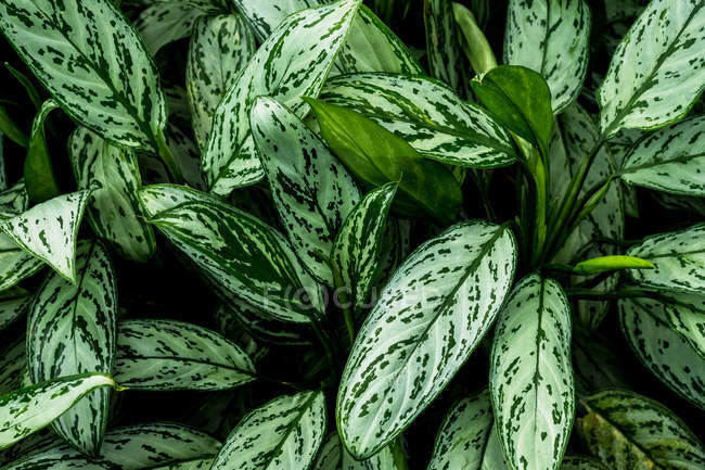 High angle close-up of lush green leaves streaked with white. — Stock Photo