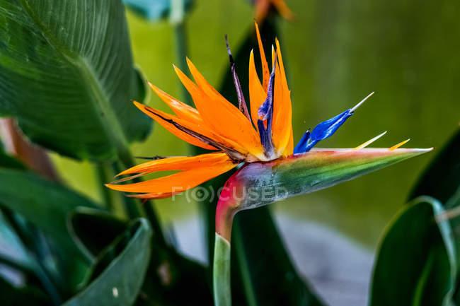 Розмір оранжевого квітка Стреліції і зеленого листя.. — стокове фото