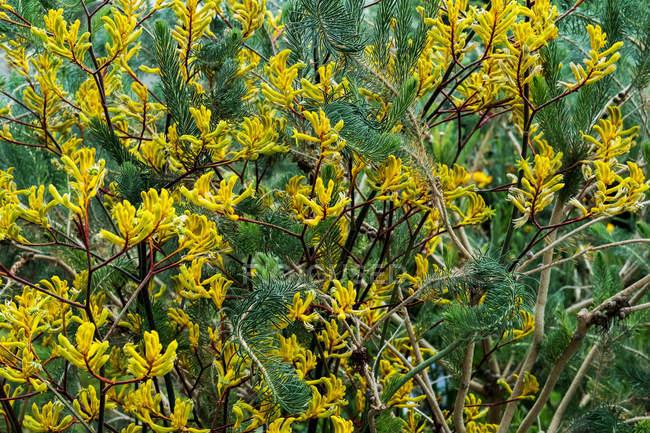 Primi piani di arbusto con piccoli fiori gialli e ramoscelli di conifere. — Foto stock