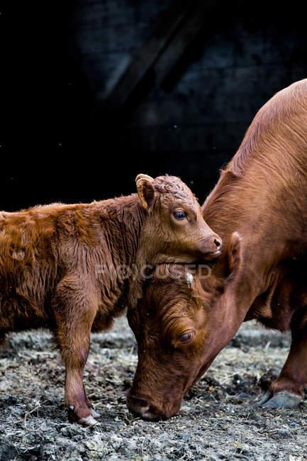 Коричнева корова і теля стоять і обіймаються біля дерев'яного амбару на органічній фермі.. — стокове фото