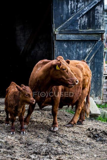 Коричнева корова і теля стоять на фермі біля дерев