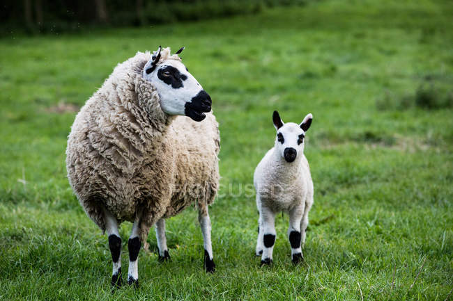 Kerry Hill sheep and lamb on green pasture on countryside farmland. — Stock Photo