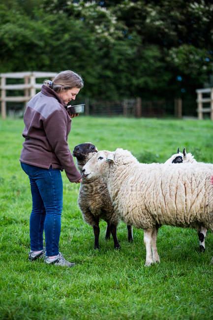 Mujer alimentando Kerry Hill ovejas en pastos de granja verde . - foto de stock