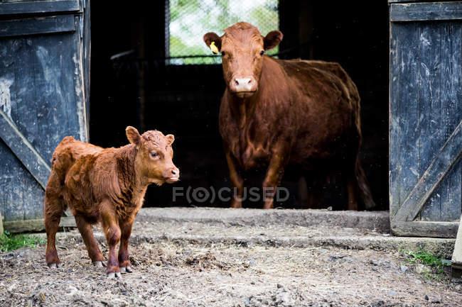 Коричнева корова і теля стоять біля дерев'яного сараю на сільській фермі.. — стокове фото