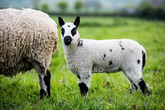 Kerry Hill sheep and lamb on green pasture grass on farm. — Stock Photo