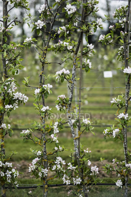 Close-up of white blossoms on branches in spring in beautiful pattern. — Stock Photo