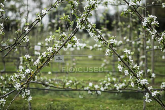 Білий цвіт на гілках навесні в прекрасному візерунку.. — стокове фото