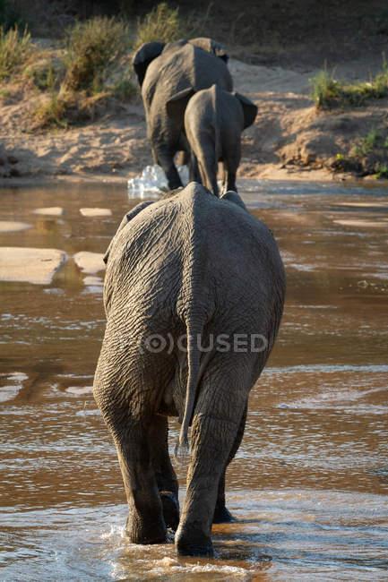 Tres elefantes caminando en una línea a través del río en vista trasera, África . - foto de stock