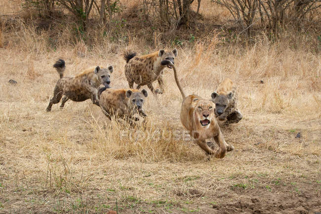 Lioness running with ears back and mouth open from spotted hyenas in Africa. — Stock Photo