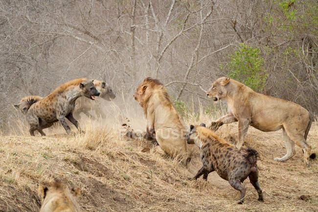 Gesichtete Hyänen attackieren Stolz der Löwen in Afrika. — Stockfoto