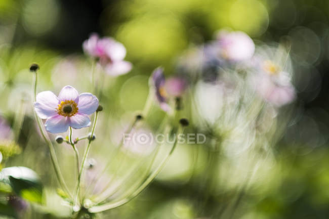 Close-up of delicate flowers with pink and white blossom on a meadow. — Stock Photo