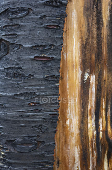 Close-up of fire damaged tree with black charcoal and untouched bark. — Stock Photo