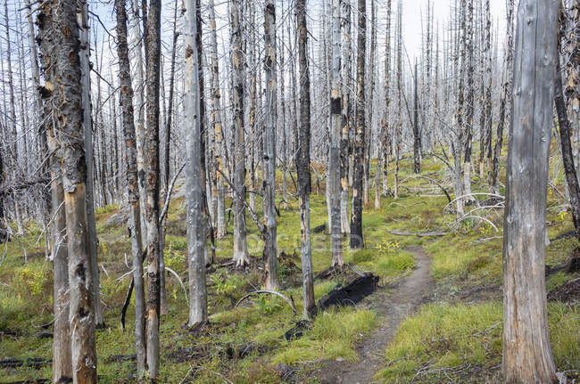 Pacific Crest Trail fire damaged subalpine forest, Mount Adams Wilderness, Gifford Pinchot National Forest, Washington, EUA — Fotografia de Stock