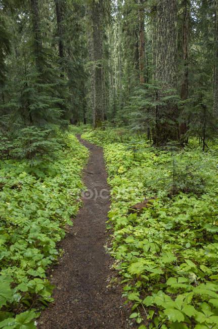 Pacific Crest Trail que se extiende a través de exuberantes y verdes bosques, Gifford Pinchot National Forest, Washington, EE.UU. - foto de stock