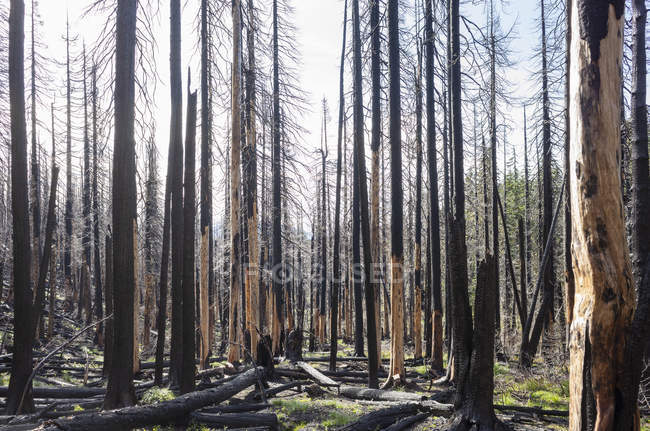 Fire damaged forest and trees along Pacific Crest Trail, Mount Adams Wilderness, Washington, USA — Stock Photo
