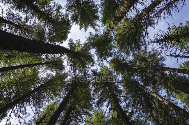Vista ad angolo basso degli alberi del Pacific Crest Trail, Gifford Pinchot National Forest, Washington, USA — Foto stock