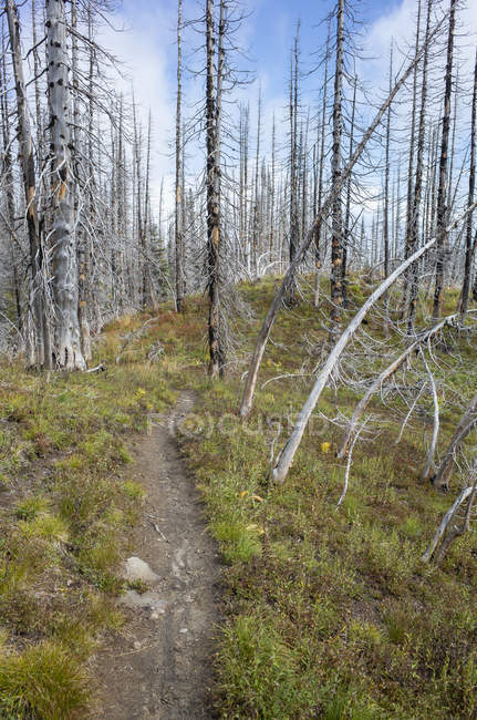 Pacific Crest Trail fire damaged subalpine forest, Mount Adams Wilderness, Gifford Pinchot National Forest, Washington, États-Unis — Photo de stock