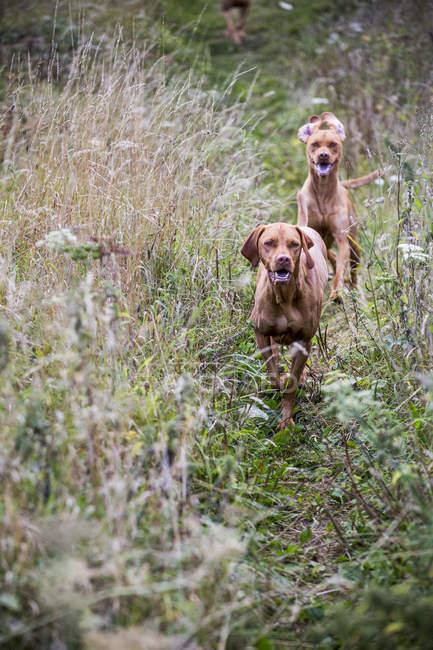 Ritratto di due cani Vizsla sul prato . — Foto stock