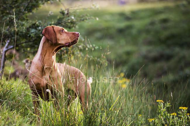Портрет собаки Віссла, що стоїть на зеленій лузі.. — стокове фото