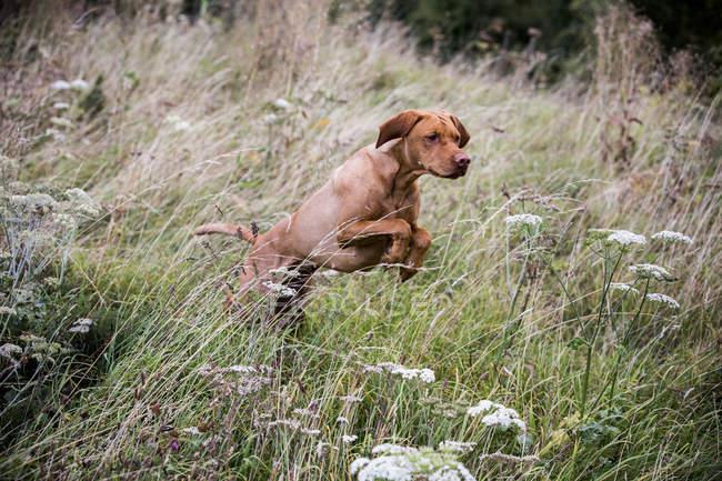 Портрет собаки Віссла біжить по зеленій луці.. — стокове фото