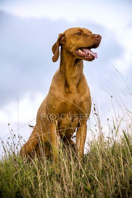 Портрет собаки Віссла сидить на сільській лузі.. — стокове фото