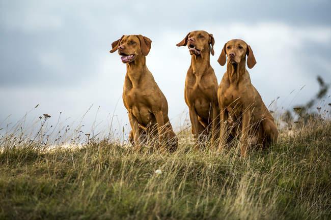 Ritratto di tre cani Vizsla seduti su un prato verde . — Foto stock