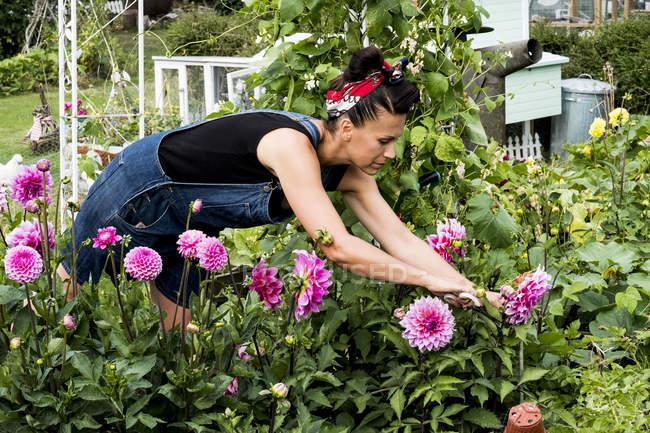 Frau steht im Garten und pflückt rosa Dahlien. — Stockfoto