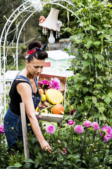Woman standing in garden, holding wooden crate with vegetables, picking pink Dahlias. — Stock Photo