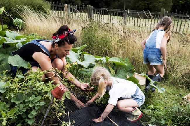 Женщина и девушки в огороде, собирают картофель . — стоковое фото