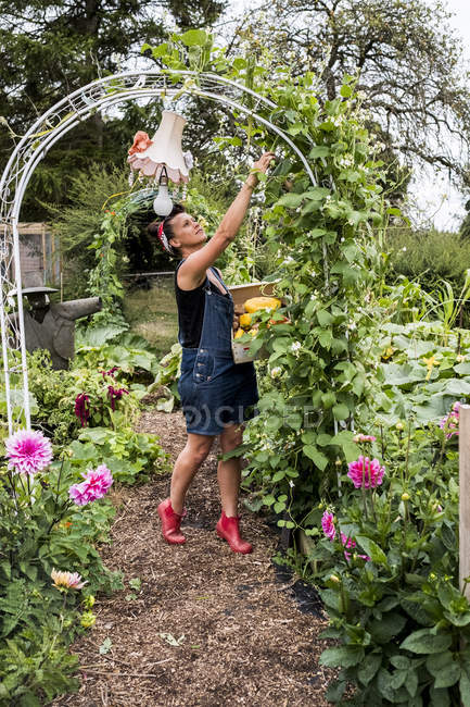 Woman standing underneath arch in garden, picking green beans. — Stock Photo