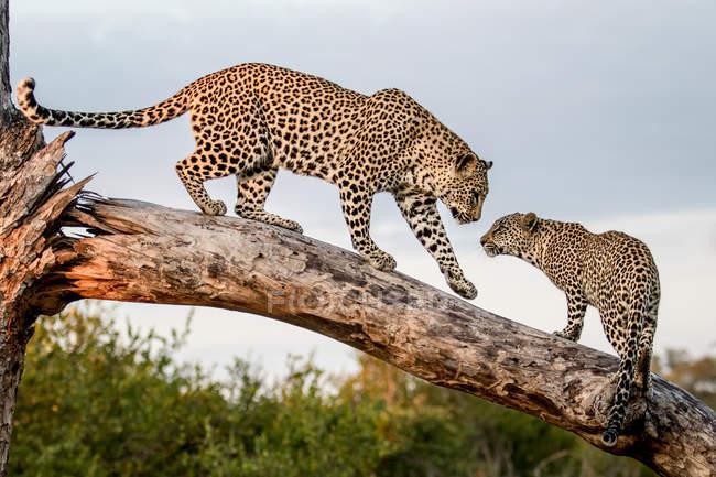 Самка леопарда приветствует детёныша, балансируя на деревянном бревне . — стоковое фото