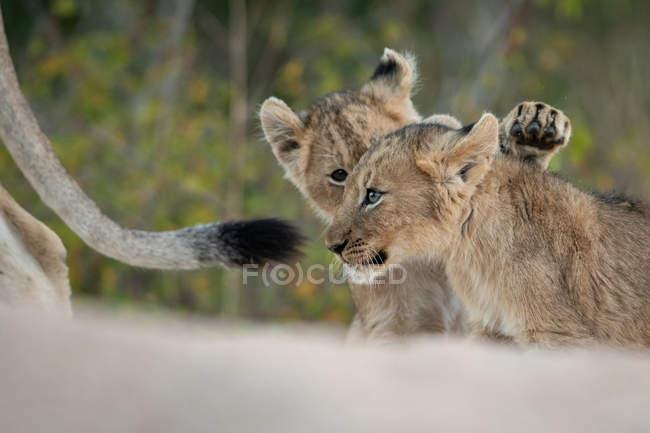Двоє левових малят бавляться разом під час левиці в Африці.. — стокове фото