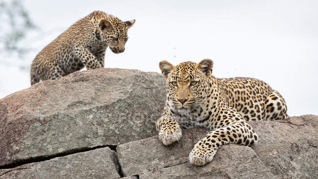 Female leopard lying on boulders with cub. — Stock Photo